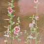 hollyhocks 2013